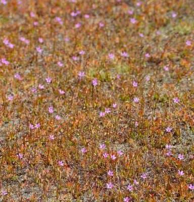 Alfilerillo (Pin Clover) in Torres Del Paine National Park