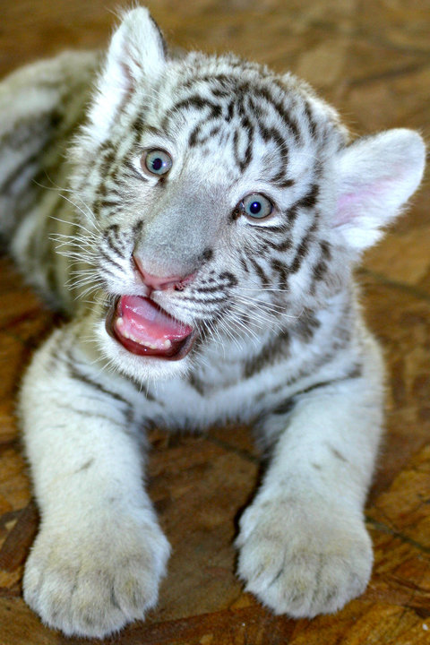 Pic of the day baby white tiger cub - Show me a picture of the tiger ...