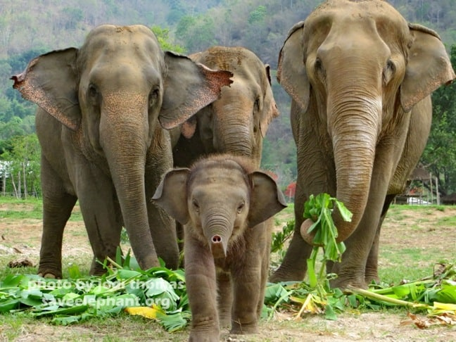 Baby Navann of Elephant Nature Park, Thailand