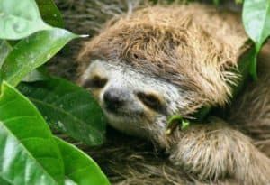 Costa Rica Travel Guide -Baby Sloth