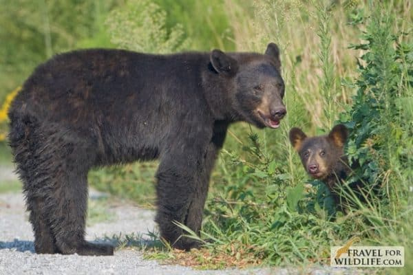 Black Bear Mama & Cub in Alligator River NWR, North Carolina