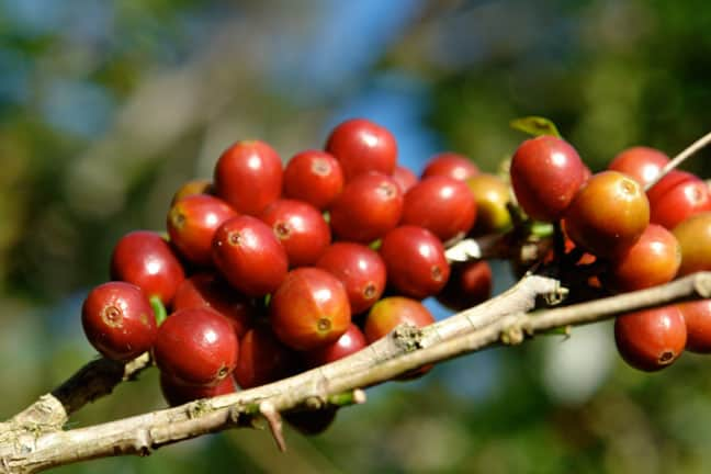 THE BEST COFFEE IN THE WORLD: hacienda la esmeralda