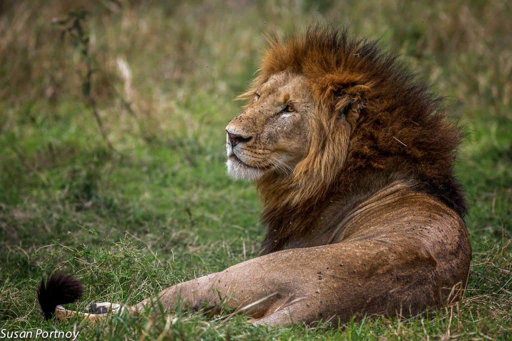 Lion Tours & Lion Hunting