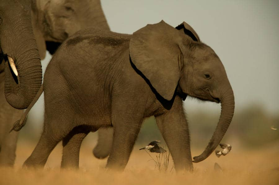 Elephant Calf photographed by Dereck and Beverly Joubert