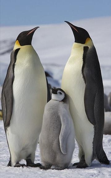 emperor_penguins_baby_Ian_Duffy
