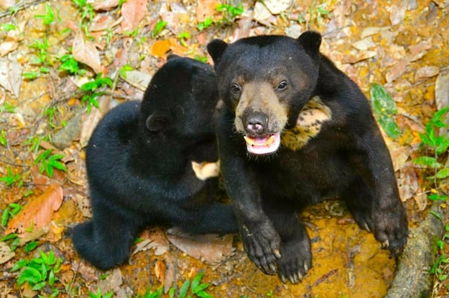 Sun Bear Facts -Cubs at the Borneo Sun Bear Conservation Centre