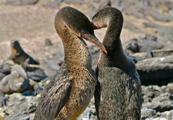VIDEO: Flightless Cormorant Mating Dance
