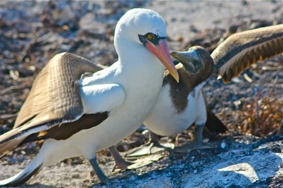 Galapagos Birds: Nazca Booby baby urges mom to feed him.