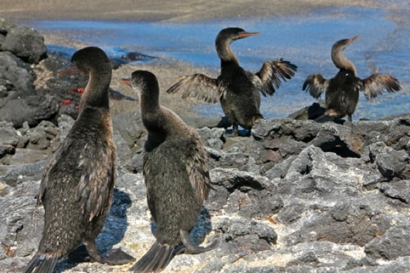 Galapagos Birds: A mating ritual among the rare Flightless Cormorants.