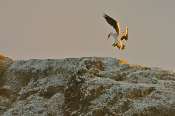 Galapagos Birds, Nazca Booby landing on Kicker Rock