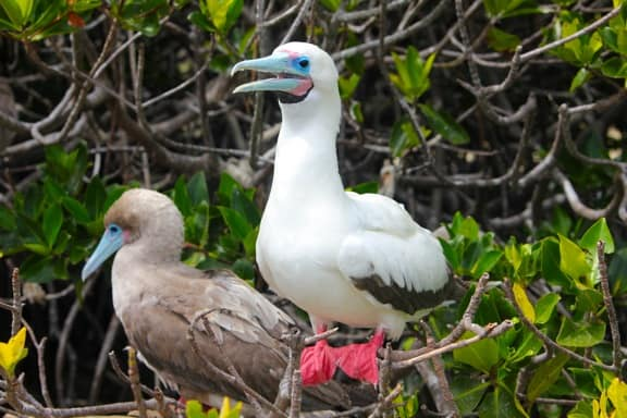 Galapagos Birds: A pair of Red-Footed Boobies nesting on Genovesa Island.