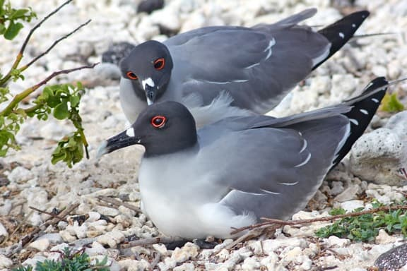 Galapagos Birds: A Mating pair of Swallow Tailed Gulls on Genovesa Island