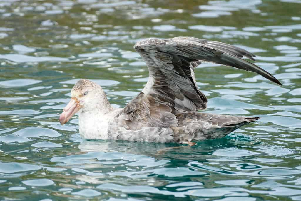 Giant Petrel in Cooper Bay near South Georgia Island