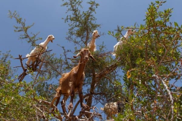 UNESCO_Intangible_Cultural_Heritage_list_argan_tree_goats
