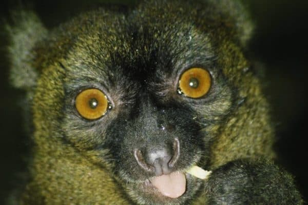 ENDANGERED SPECIES SPOTLIGHT: Greater Bamboo Lemur