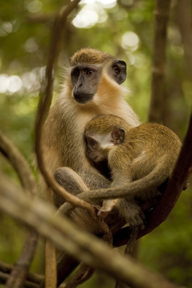 What to see in Barbados -Green Monkey at Barbados WIldlife Reserve