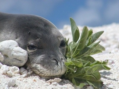 Hawaiian Monk Seal Pup