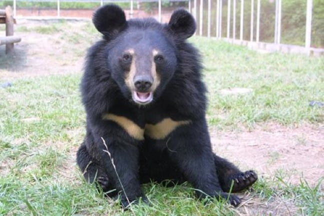 A Happy Moon Bear at the Animals Asia Foundation Sanctuary