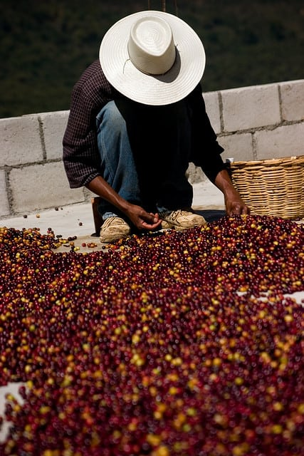 Hand sorting coffee cherries photo by jakeliefer via CC