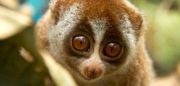 ENDANGERED SPECIES SPOTLIGHT: Slow Loris
