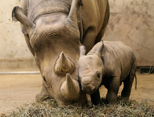 Mama and Baby Black Rhinoceros