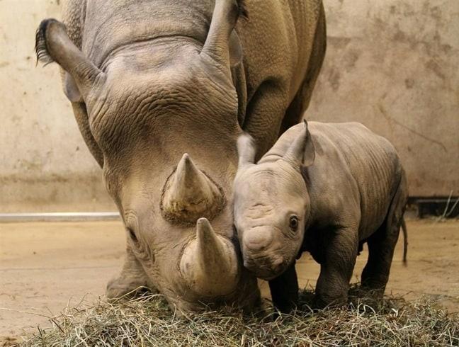 Mama & Baby Black Rhino
