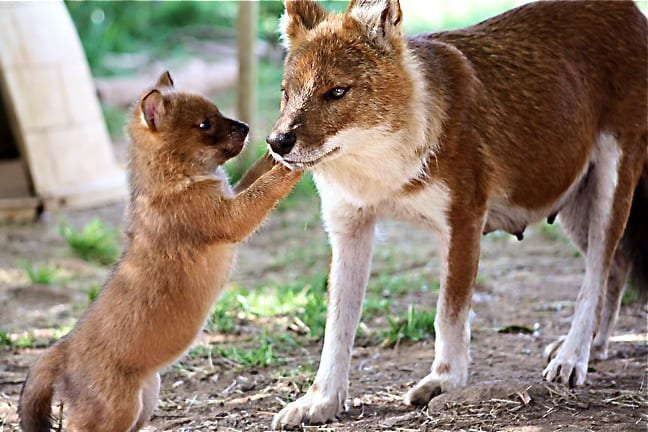 Mama and Baby Dhole (a.k.a. Indian Wild Dogs)