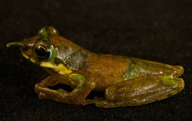Weird-looking frogs around the world, Pinocchio frog