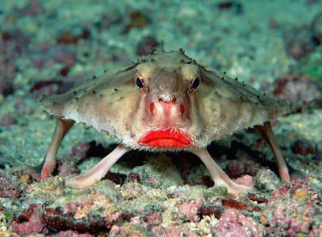 Red-Lipped Galapagos Batfish, photographed by Rein Ketelaars via Creative Commons