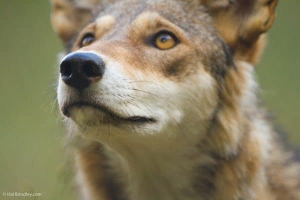 ENDANGERED SPECIES SPOTLIGHT: Red Wolf