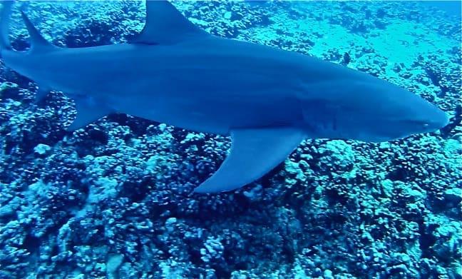 shark-galapagos-islands