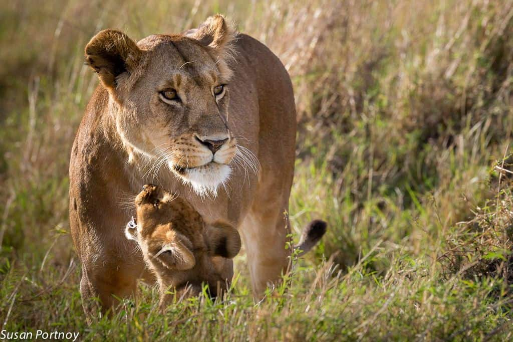 The connection between Walking With Lions and canned lion hunting.