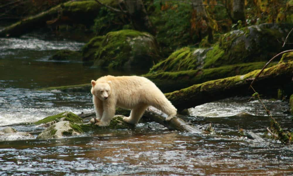 Spirit Bear in Great Bear Rainforest, British Columbia