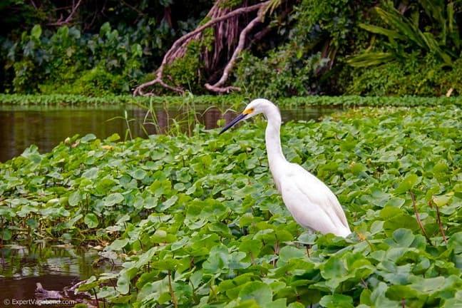 Water Birds in Costa Rica -Snowy Egret in Tortuguero National Park