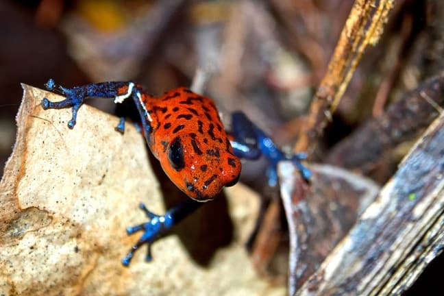 Strawberry Poison Dart Frog in Tortuguero National Park