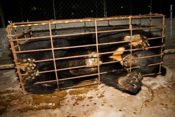 Animals Asia Foundation works to end Bear Bile Farming