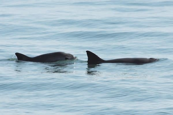 ENDANGERED SPECIES SPOTLIGHT- Vaquita (a.k.a. Desert Porpoise)
