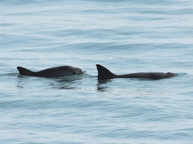 Vaquita (Desert Porpoise) Photo by Dr. Thomas A. Jefferson