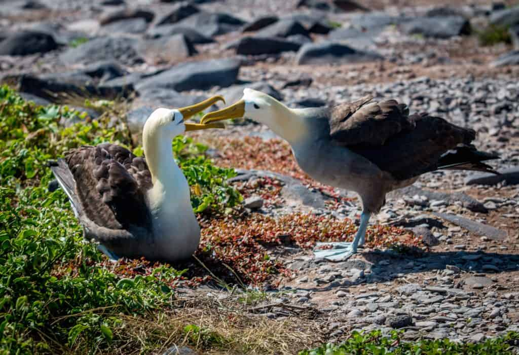 Galapagos Islands Animals: Waved Albatross