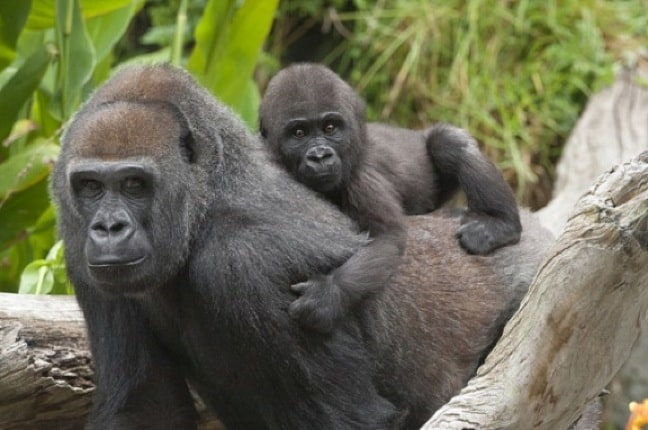 ENDANGERED SPECIES SPOTLIGHT: Western Lowland Gorilla