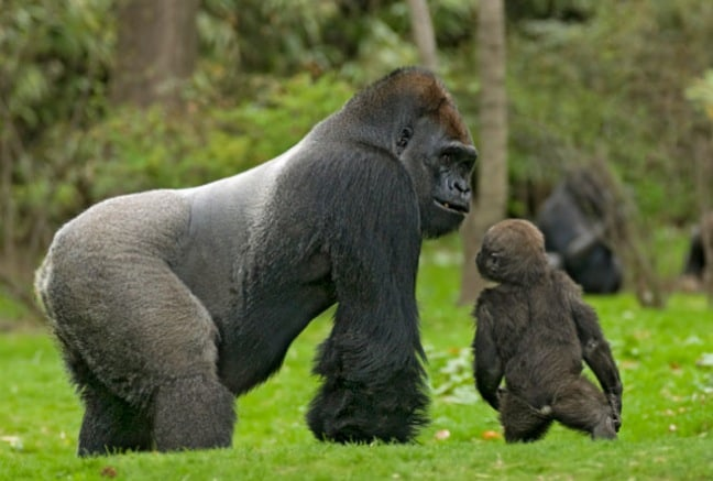 gorillas an endangered species Eastern gorilla now critically endangered while  the parlous state of eastern gorillas is matched  of the 5,107 species considered critically endangered,.