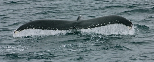 Ecotourism Activities - Watching Humpback Whales