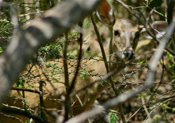 white-tail_Curaçao_deer Natures Own Hot Tub