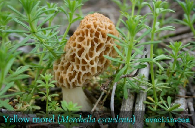 Yellow Morel
