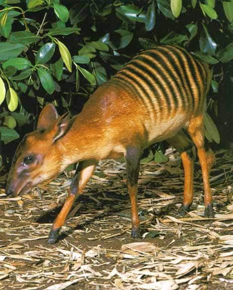 Image of: Cute Weird Animals Zebra Duiker Owlcation 60 Weird Animals From All Around The World